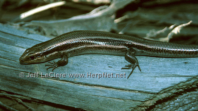 An adult five-lined skink, Plestiodon fasciatus, from Jackson County, Iowa.