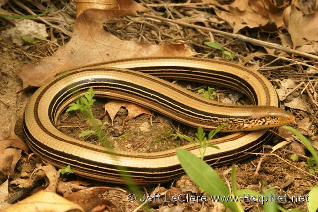 An adult slender glass lizard, Ophisaurus attenuatus, from Appanoose County, Iowa.
