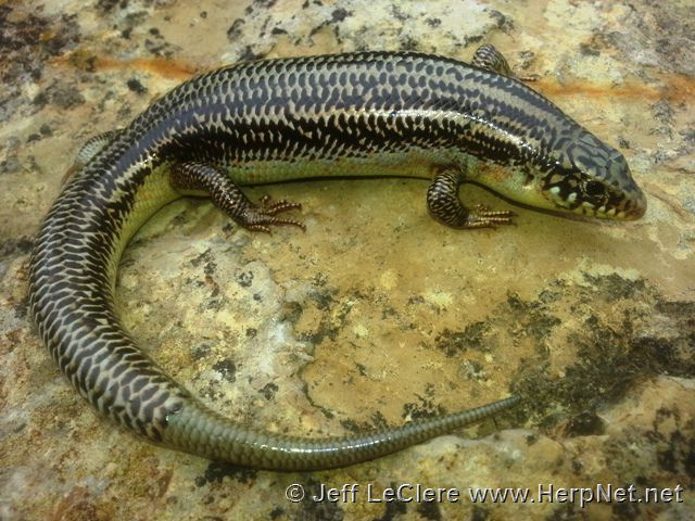 An adult Great Plains skink, Plestiodon obsoletus, from Kansas.