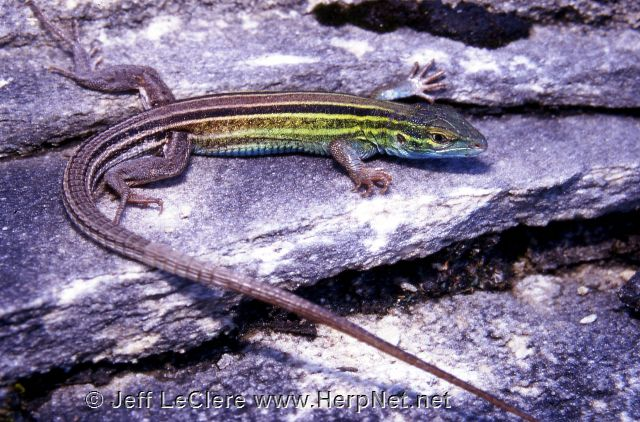 An adult six-lined racerunner, Aspidoscelis sexlineata, from Allamakee County, Iowa.