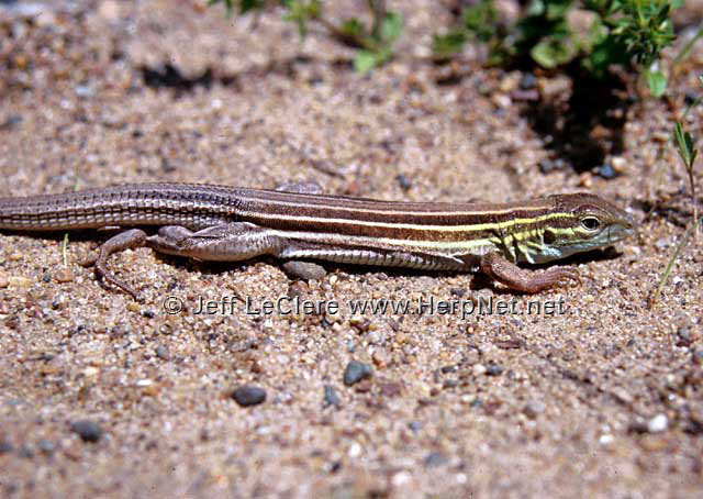 An adult six-lined racerunner, Aspidoscelis sexlineata, from Muscatine County, Iowa.