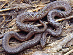 Brown Snake, Storeria dekayi, from Muscatine County, Iowa
