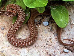 Brown Snake, Storeria dekayi, aggressive stance, from Van Buren County, Iowa