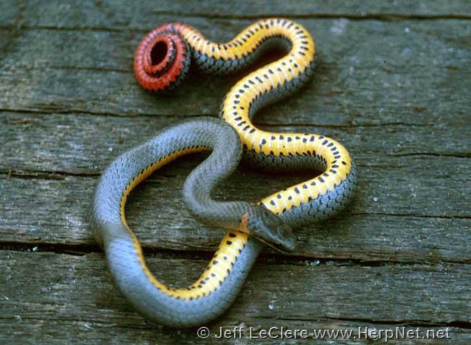 Ringneck snake from Woodbury County, Iowa