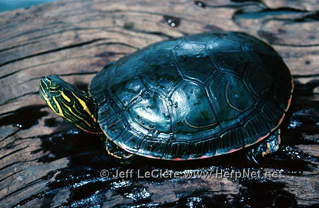 Painted turtle, Muscatine County, Iowa
