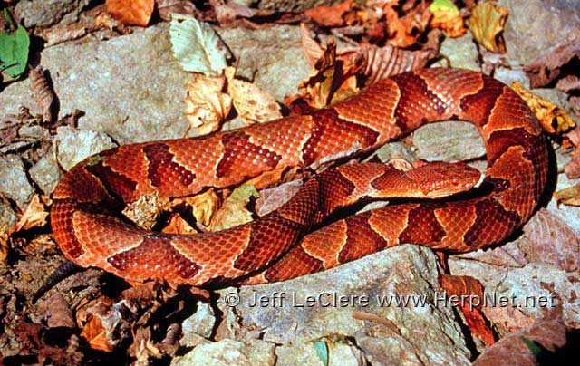 Copperhead (Agkistrodon contortrix) – Amphibians and ...
