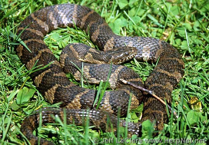 N Snakes Northern Water Snake (...
