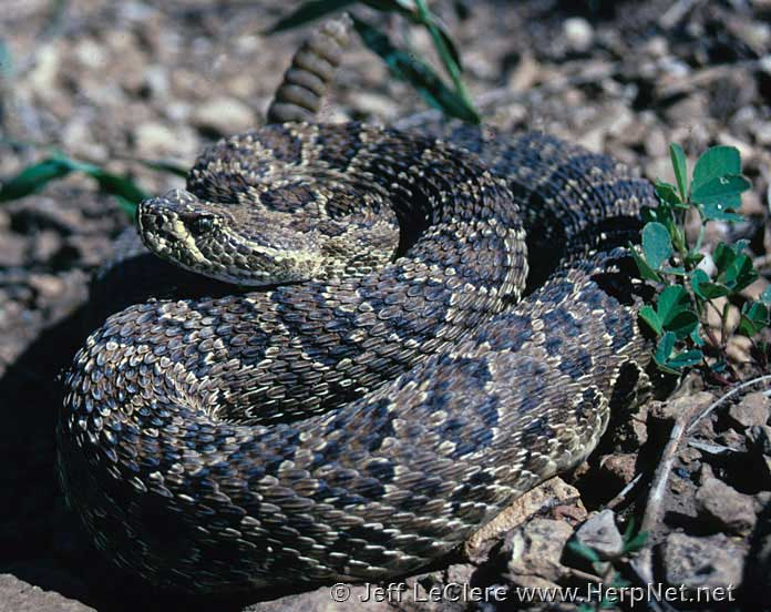 A prairie rattlesnake from Plymouth County, Iowa