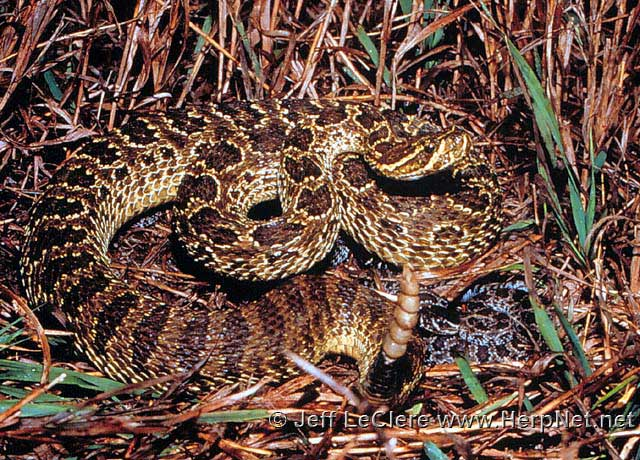 A female prairie rattlesnake with young. Plymouth County, Iowa