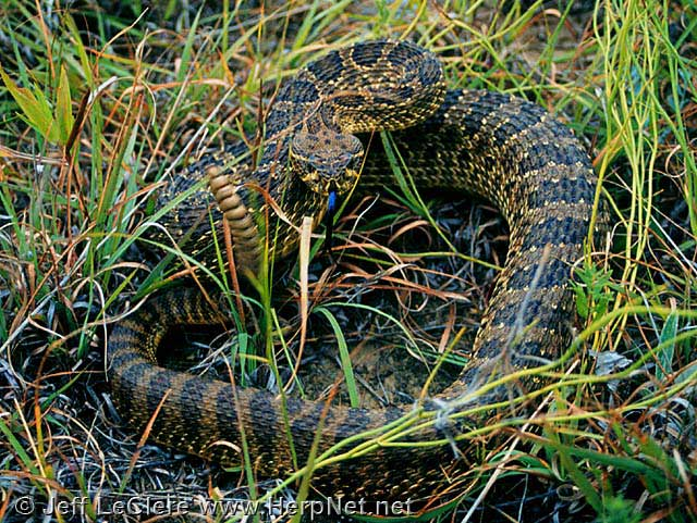 An adult prairie rattlesnake from Plymouth County, Iowa