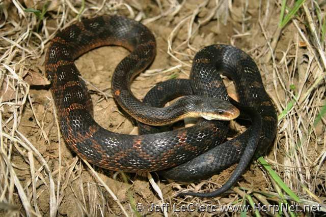 Rat snake, Mills County, Iowa