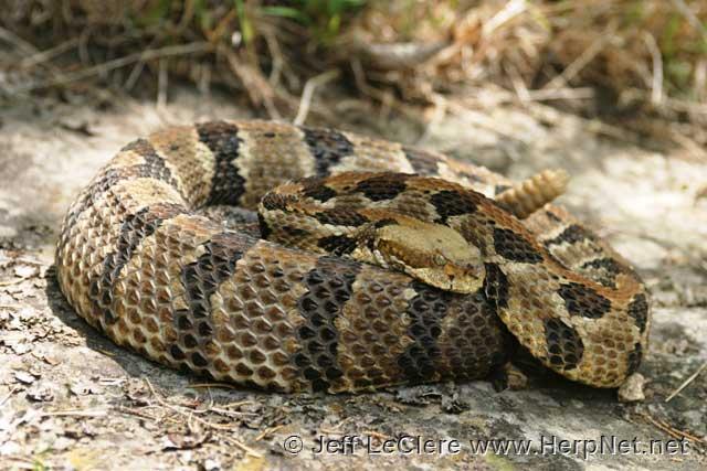 Timber rattlesnake, Jackson County, Iowa