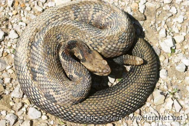 Timber rattlesnake, Madison County, Iowa