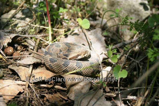 Timber rattlesnake - baby, Madison County, Iowa