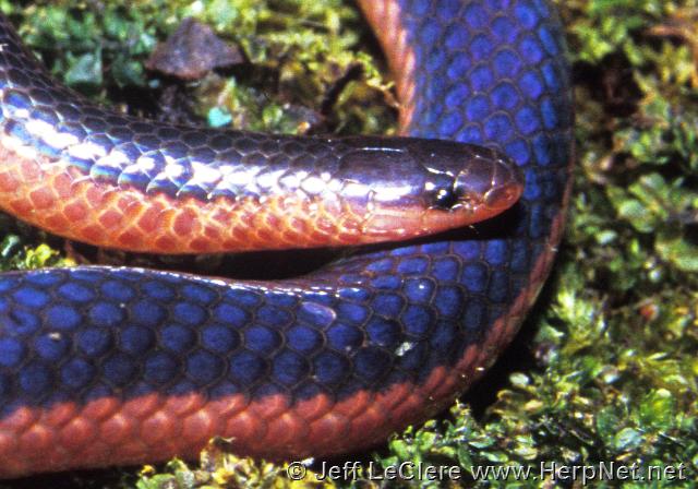 Western worm snake, Madison County, Iowa