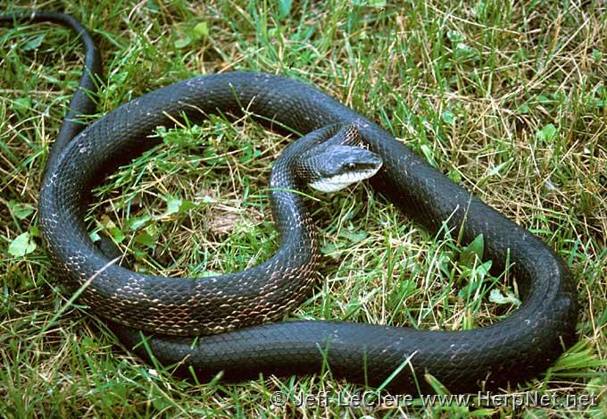 Rat snake, Van Buren County, Iowa