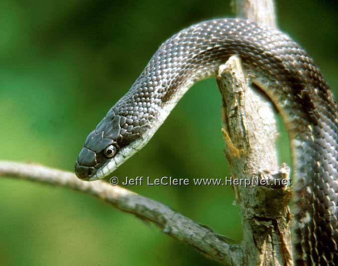 Rat snake, Jackson County, Iowa