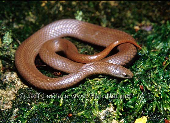 Smooth earth snake, Madison County, Iowa