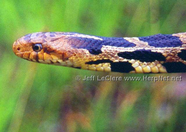 Fox snake, Louisa County, Iowa