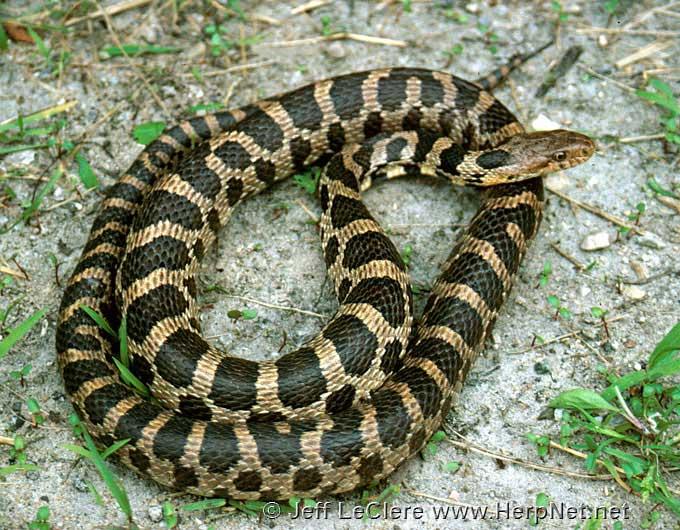 Fox snake, Linn County, Iowa