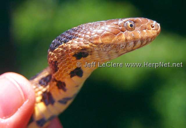 Fox snake, Johnson County, Iowa