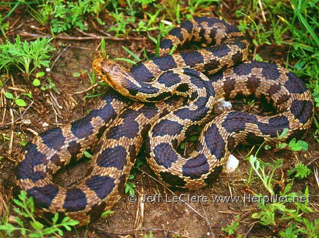 Fox snake Louisa County, Iowa