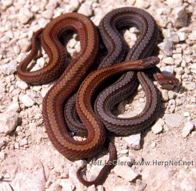 Red belly snakes, brown and grey phase. Butler County, Iowa