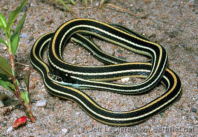 Ribbon snake, Louisa County, Iowa