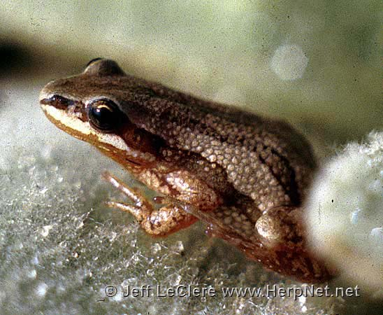 An adult boreal chorus frog, Pseudacris maculata, from Allamakee County, Iowa.