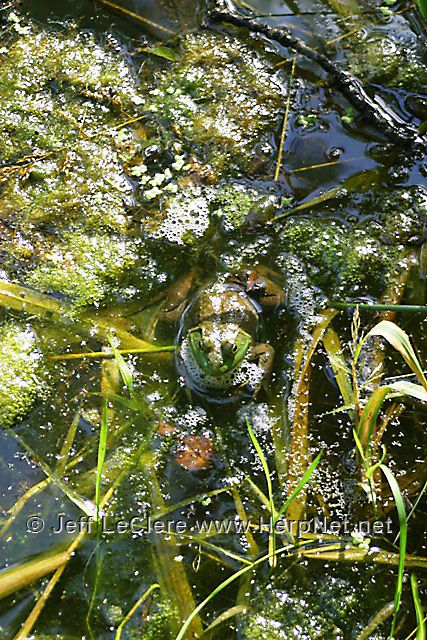 An adult North American bullfrog, Lithobates catesbeianus, from Clayton County, Iowa.