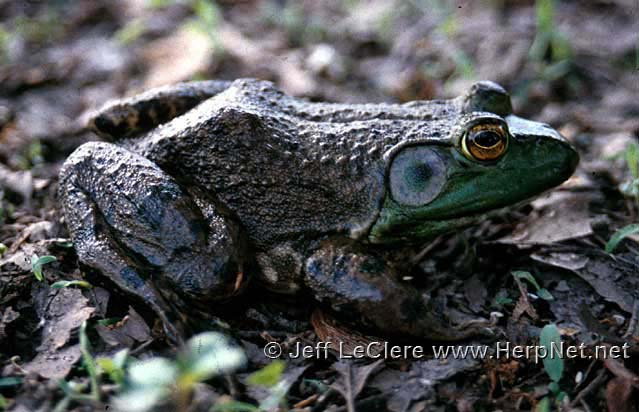 An adult North American bullfrog, Lithobates catesbeianus, from Linn County, Iowa.