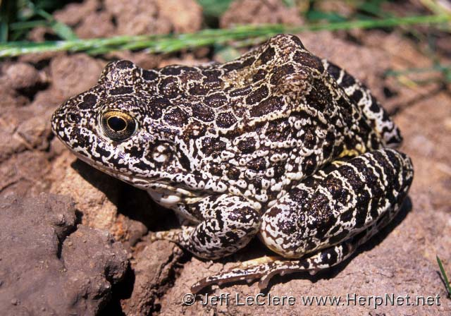 An adult crawfish frog, Lithobates areolatus, from Missouri.