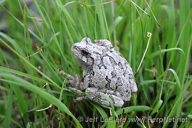 An adult eastern gray treefrog, Hyla versicolor, from Des Moines County, Iowa.