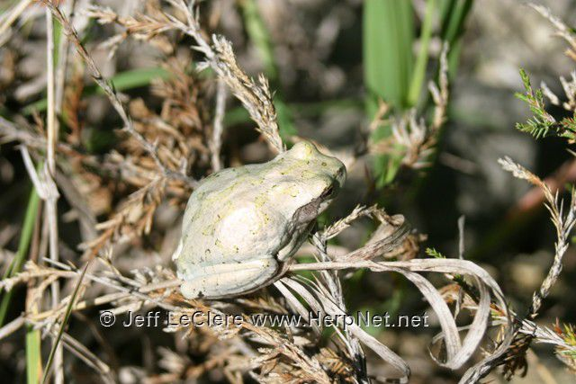 An unusual gold colored eastern gray treefrog, Hyla versicolor, from Madison County, Iowa.