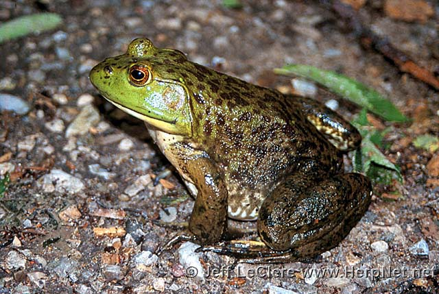 An adult North American bullfrog, Lithobates catesbeianus, from Muscatine County, Iowa.