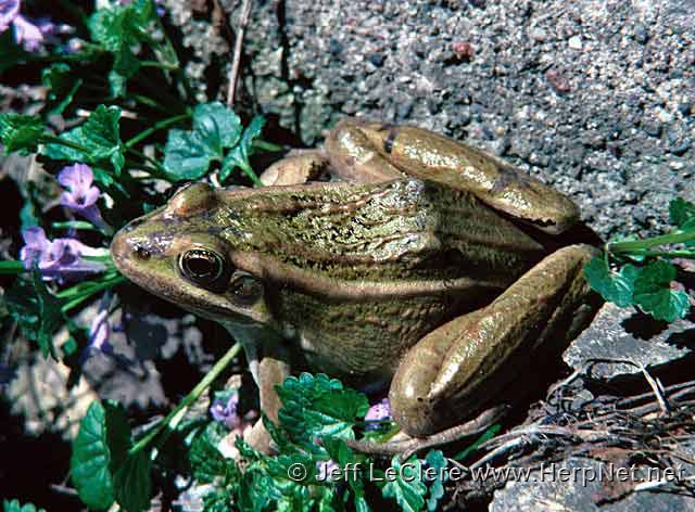 An adult northern leopard frog, Lithobates pipiens, green burnsi phase, from Minnesota.