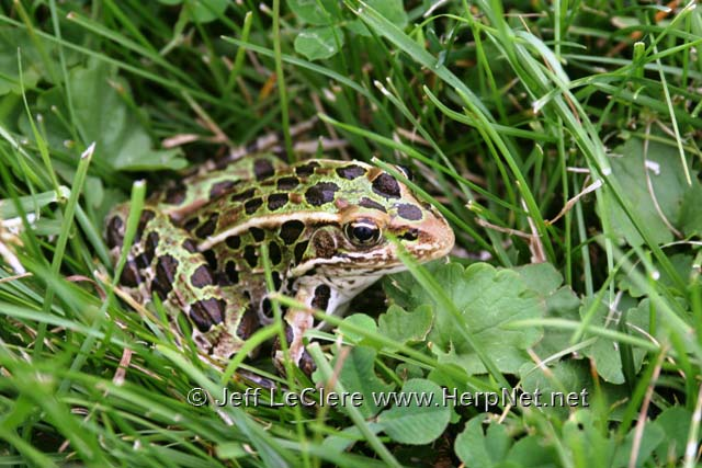 An adult northern leopard frog, Lithobates pipiens, from Jasper County, Iowa.