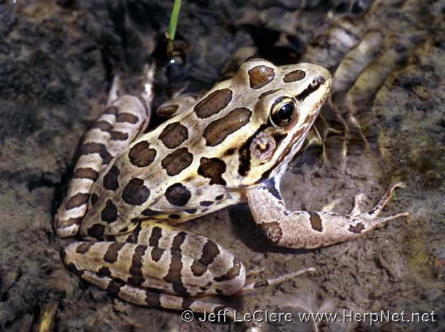 An adult pickerel frog, Lithobates palustris, from Allamakee County, Iowa.