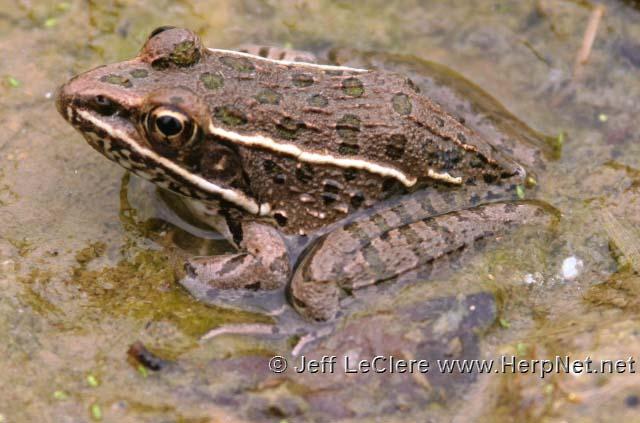 A juvenile plains leopard frog, Lithobates blairi, from Jasper County, Iowa.