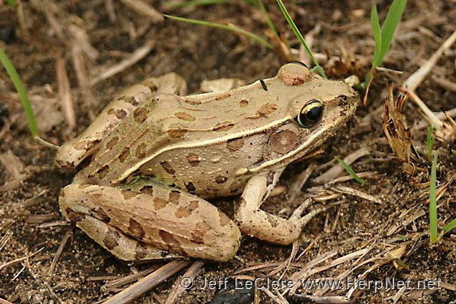 An adult southern leopard frog, Lithobates sphenocephalus, from Des Moines County, Iowa.