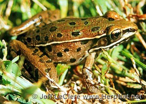 A juvenile southern leopard frog, Lithobates sphenocephalus, from Van Buren County, Iowa.