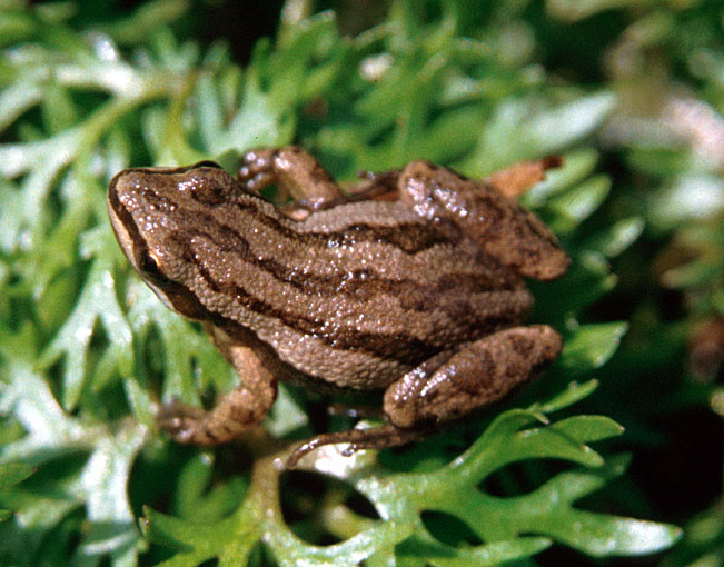 An adult boreal chorus frog, Pseudacris maculata, from Muscatine County, Iowa.