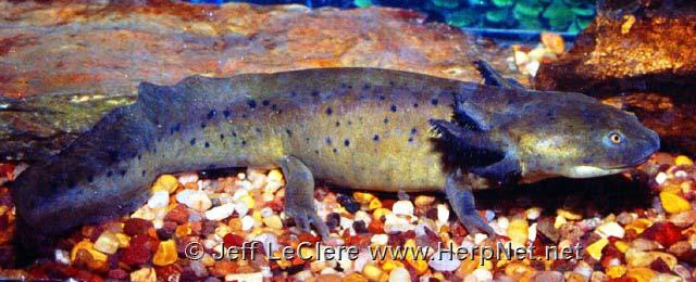 A larval eastern tiger salamander, Ambystoma tigrinum.