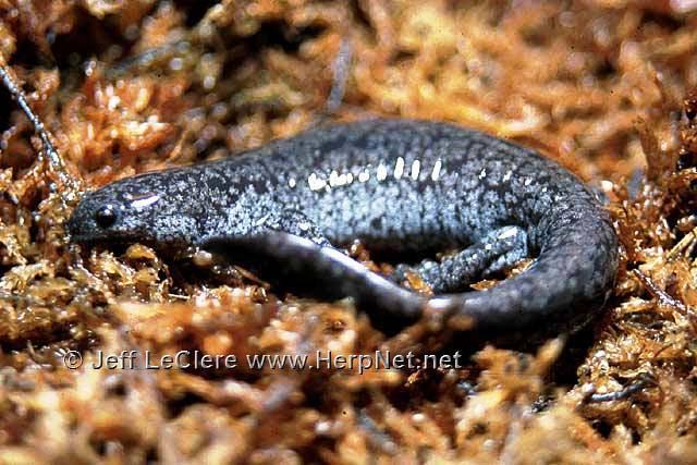 An adult smallmouth salamander, Ambystoma texanum, from Louisa County, Iowa.