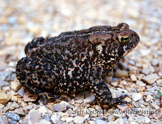 An adult American toad, Anaxyrus americanus, from Butler County, Iowa.