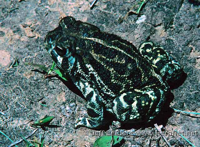 An adult Great Plains toad, Anaxyrus cognatus, from Fremont County, Iowa.