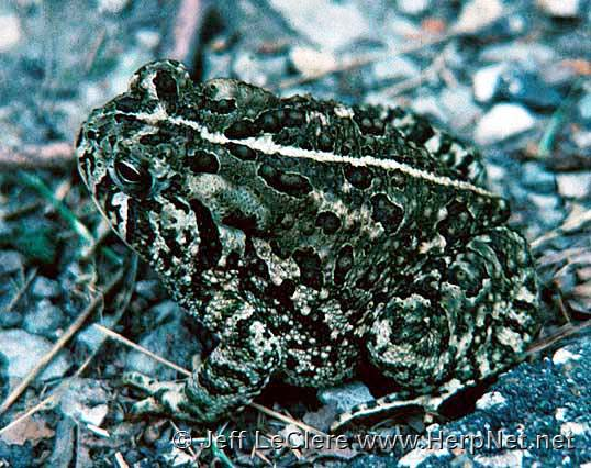 An adult Woodhouse's toad, Anaxyrus woodhousii, from Woodbury County, Iowa.