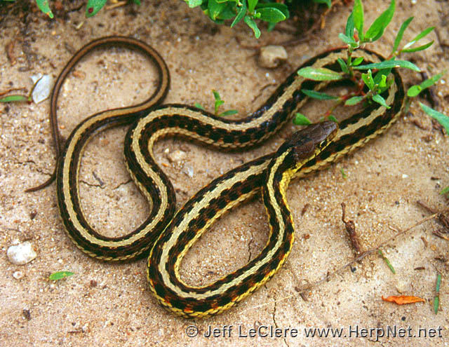 Eastern Gartersnake (Thamnophis sirtalis) \u2013 Amphibians and